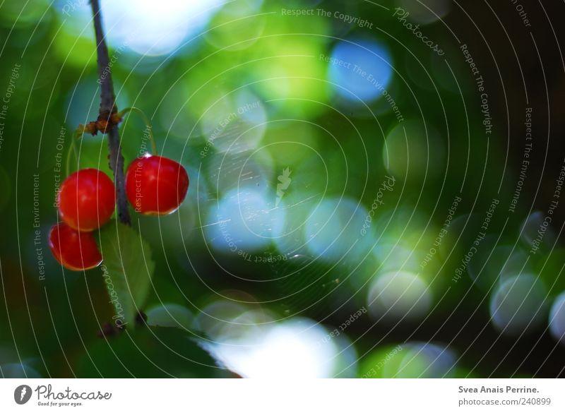 kirsch. Frucht Umwelt Natur Pflanze Schönes Wetter Baum Kirsche Kirschbaum Spinnennetz Garten Blühend hängen natürlich grün rot Farbfoto mehrfarbig
