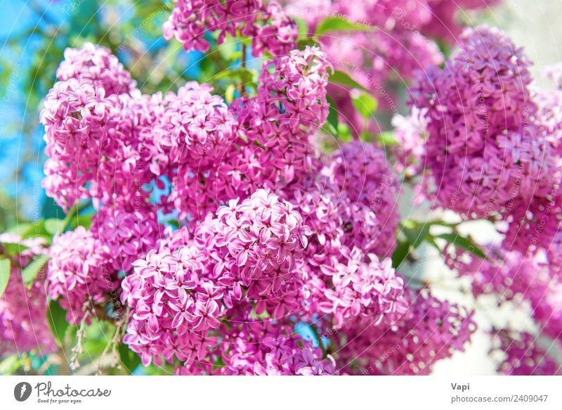 Zweig mit wunderschönen lilafarbenen Blumen am Busch Sommer Garten Dekoration & Verzierung Umwelt Natur Landschaft Pflanze Sonnenlicht Frühling Schönes Wetter