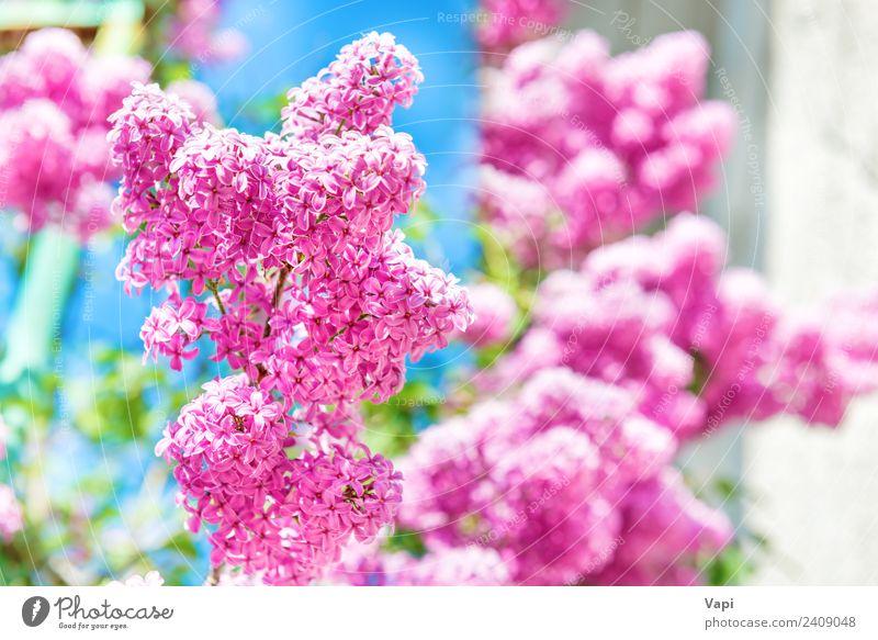 Zweig mit schönen lila fliederfarbenen Blüten Sommer Garten Dekoration & Verzierung Natur Landschaft Pflanze Sonnenlicht Frühling Schönes Wetter Baum Blume