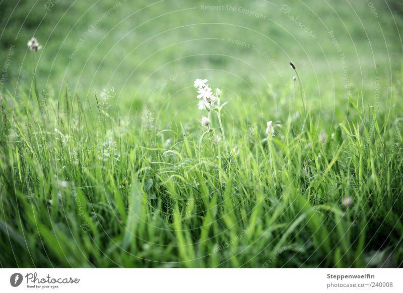 Wiesenblume Natur Landschaft Pflanze Schönes Wetter Gras Blüte atmen Blühend Duft entdecken Erholung genießen Wachstum grün weiß Blume Halm Unendlichkeit Rasen