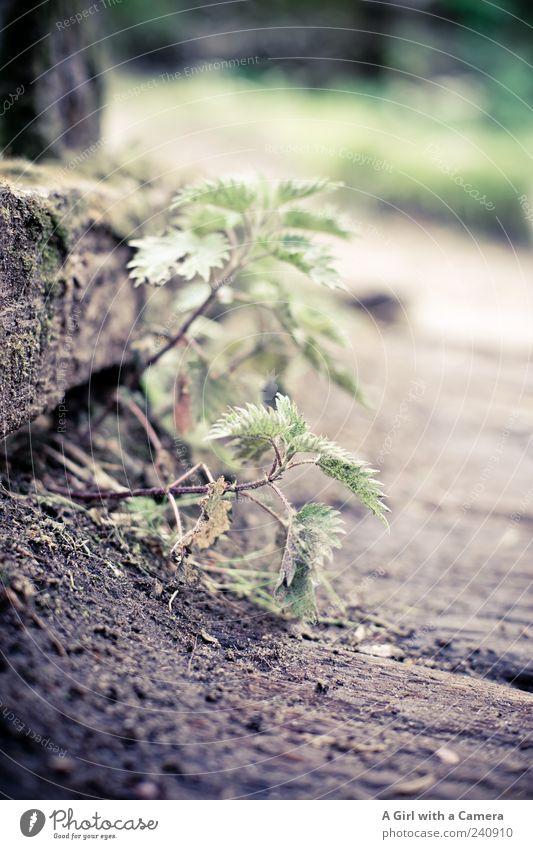 brennende Fesseln Natur Pflanze Frühling Brennnessel Heilpflanzen Wildpflanze Wachstum wild grün zartes Grün Wegrand klein Jungpflanze Gedeckte Farben