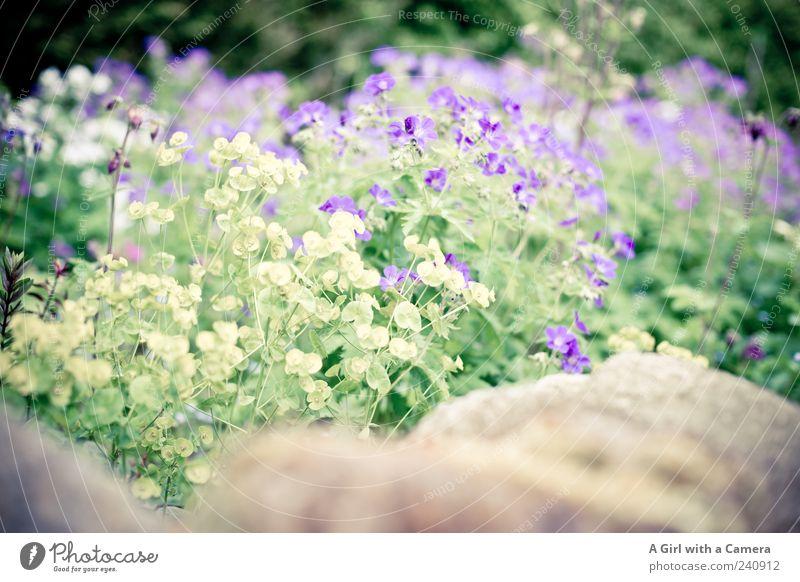 Mauergewächs Natur schön weiß Blume Pflanze Blüte Frühling Garten Wohnung frisch Fröhlichkeit Wachstum authentisch violett Dekoration & Verzierung