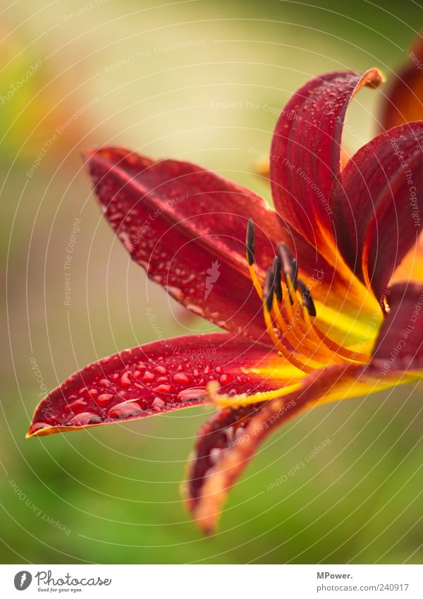 Blüte Wasser grün rot Pflanze Blatt orange Wassertropfen Tropfen exotisch tropisch Hochformat