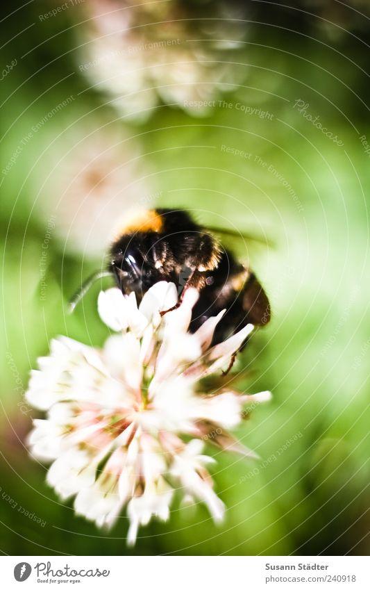 Hummel Natur Pflanze Sommer Tier Wiese Gras Blüte sitzen Behaarung Sträucher Flügel Biene Insekt Grünpflanze Wildpflanze
