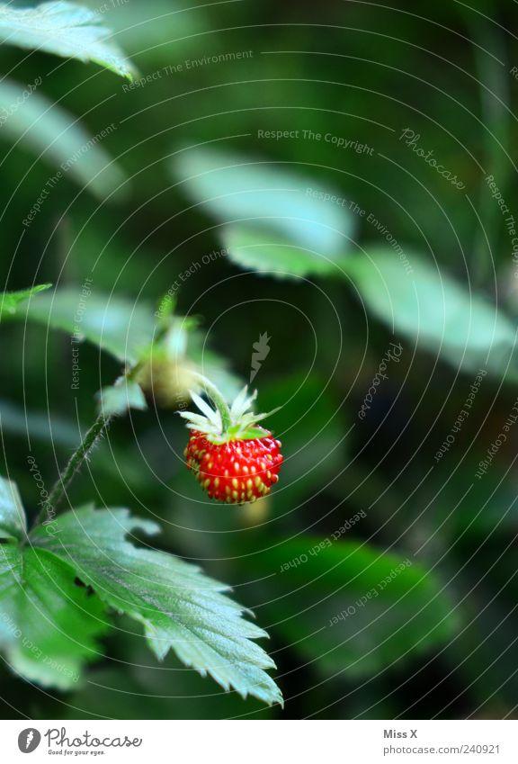 Walderdbeere Frucht Sommer Pflanze Sträucher Blatt lecker grün rot Erdbeeren Wald-Erdbeere Farbfoto mehrfarbig Außenaufnahme Nahaufnahme Menschenleer