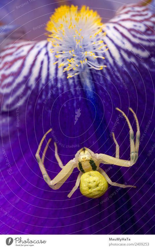 Krabbenspinne Natur Pflanze Tier Frühling Sommer Herbst Blume Blatt Blüte Garten Park Feld Wildtier Spinne 1 Aggression Gefühle Abenteuer Farbfoto Innenaufnahme
