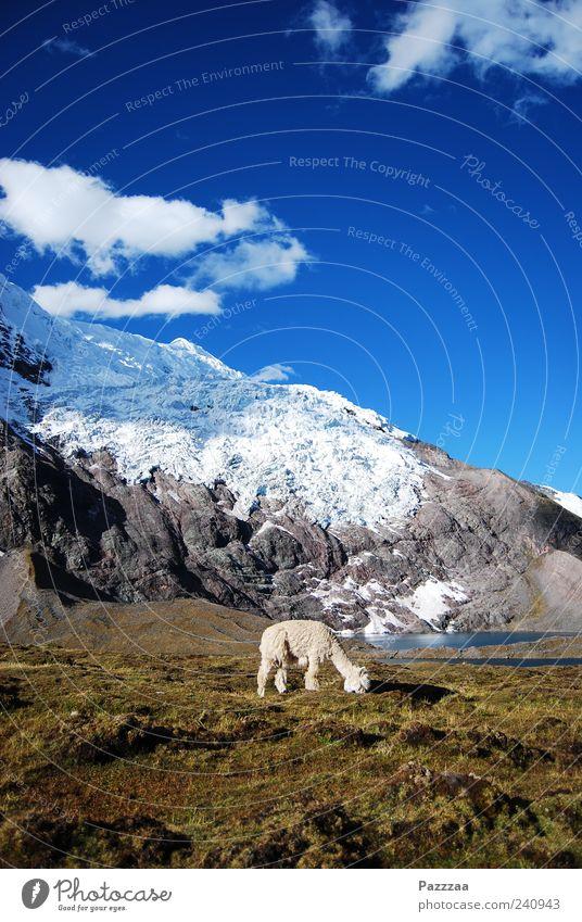 Anden, Alpaca, Azurblauer Himmel Schnee Berge u. Gebirge Natur Landschaft Ausangate Schneebedeckte Gipfel Gletscher Tier Nutztier Fell 1 Fressen Peru Farbfoto