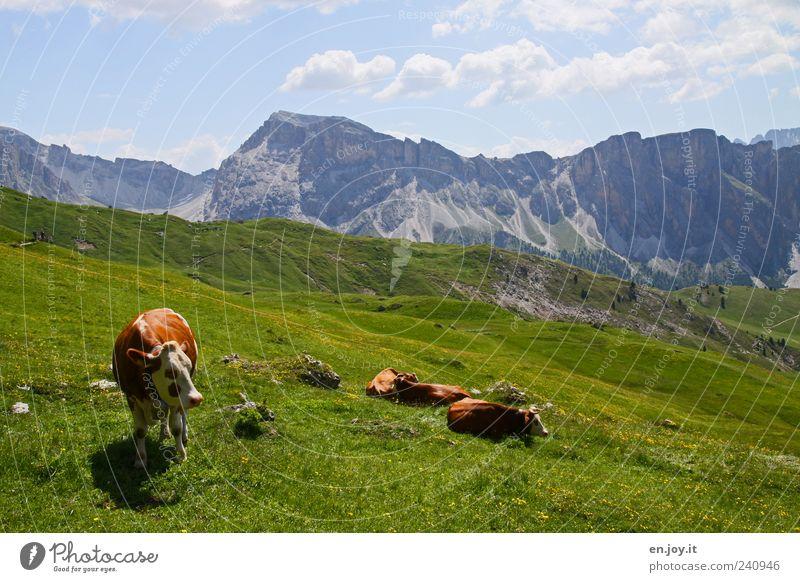 born to be wild Ferien & Urlaub & Reisen Berge u. Gebirge Natur Landschaft Himmel Gras Wiese Alpen Nutztier Kuh Tiergruppe liegen stehen blau braun grau grün