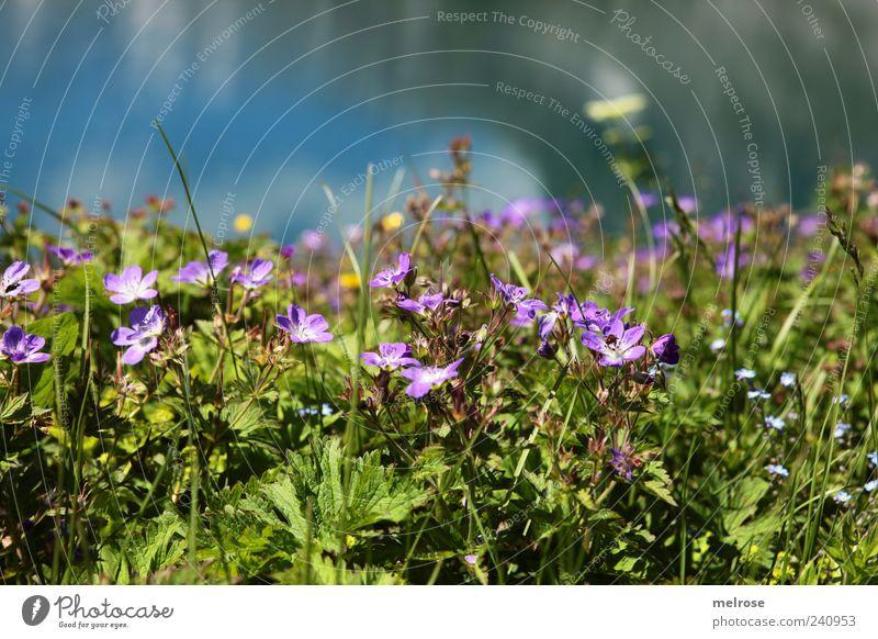 im Paradies ... Natur Pflanze Wasser Himmel Wolken Sommer Blume Gras Farn Blatt Blüte Grünpflanze Wildpflanze Seeufer blau braun gelb grün violett Farbfoto