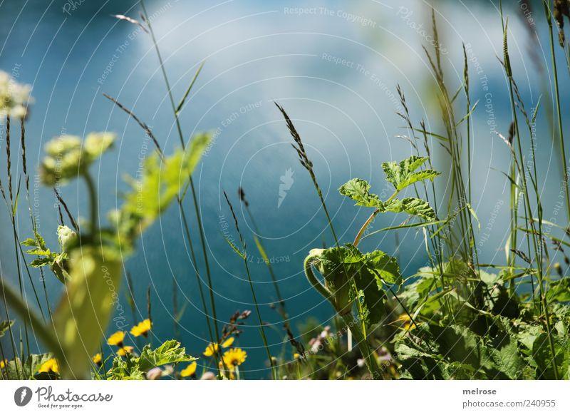 Am Seeufer I ... Natur blau Wasser grün Pflanze Sommer Blume Blatt gelb Gras Grünpflanze Wildpflanze Wiese Reflexion & Spiegelung