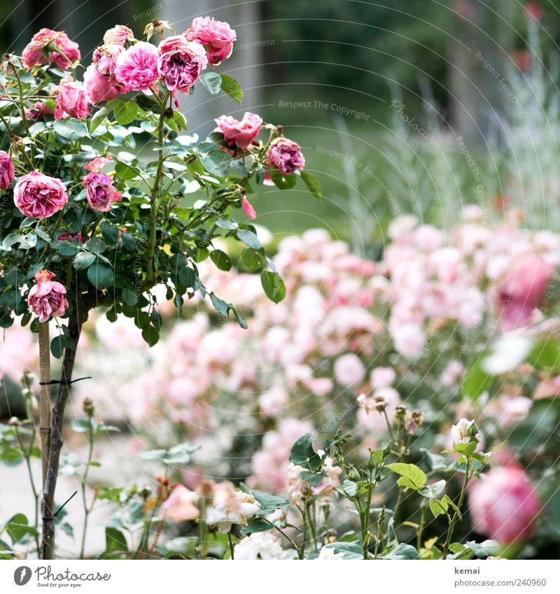 Never promised Umwelt Natur Pflanze Sommer Blume Sträucher Rose Blatt Blüte Rosenstock Blühend Duft verblüht schön rosa Vergänglichkeit welk Farbfoto