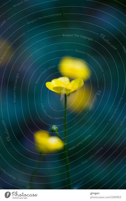 empfangen. Umwelt Natur Pflanze Frühling Blüte gelb grün-blau Wachstum schön Blütenblatt Sumpf-Dotterblumen Hahnenfuß Zentralperspektive Farbfoto mehrfarbig