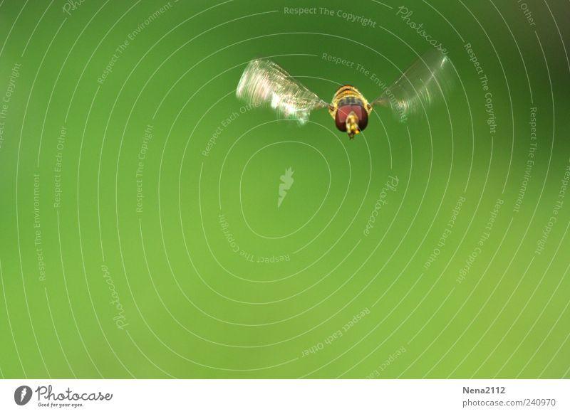 Free like a bee Natur Tier Flügel 1 fliegen grün Insekt Schweben Farbfoto Außenaufnahme Nahaufnahme Makroaufnahme Luftaufnahme Menschenleer Textfreiraum links