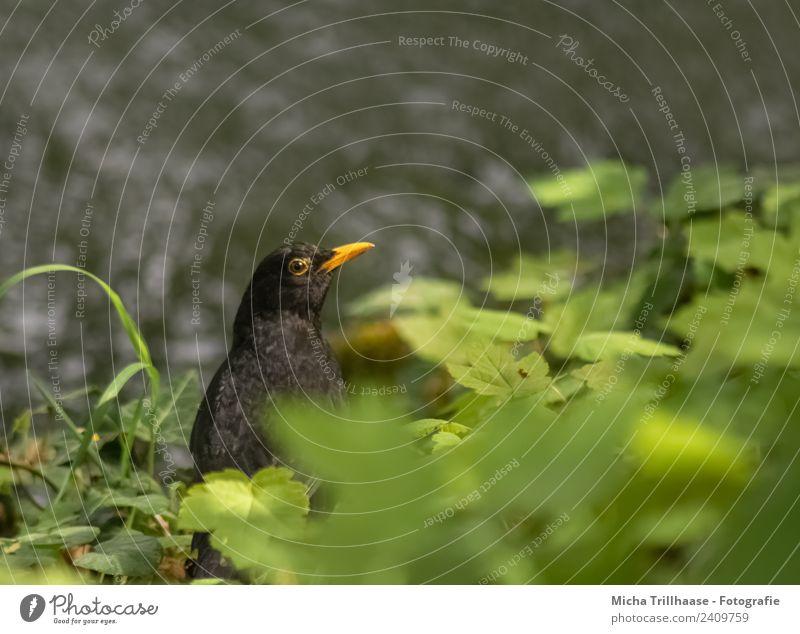 Amsel am Fluss Natur Pflanze grün Wasser Sonne Tier Blatt schwarz gelb Umwelt Auge Gras Vogel orange leuchten glänzend