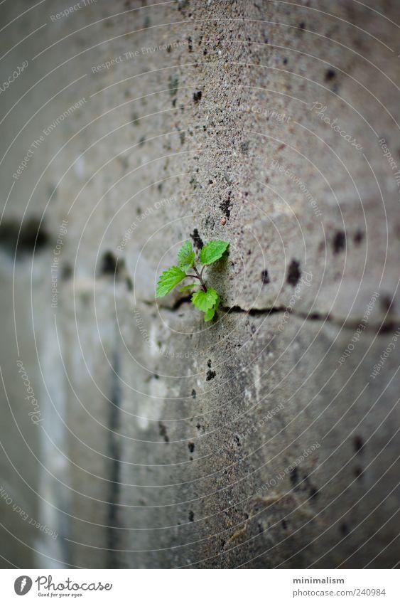 alone. Umwelt Natur Pflanze Grünpflanze Menschenleer Bauwerk Mauer Wand Beton außergewöhnlich grau grün Farbfoto Außenaufnahme Detailaufnahme Makroaufnahme