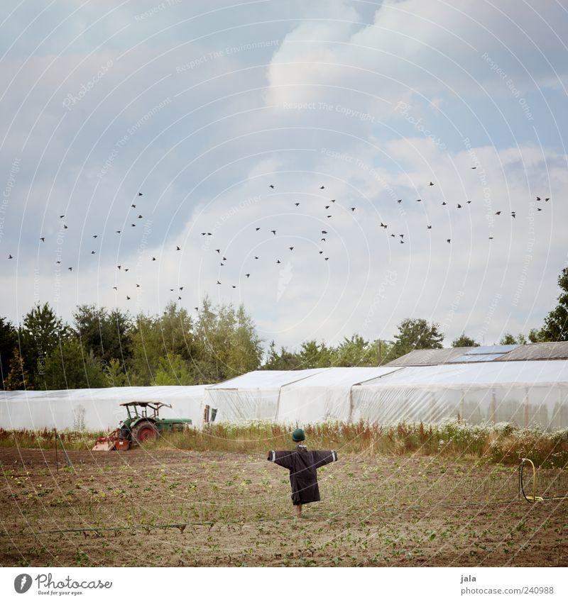 acker Himmel Baum Pflanze Sommer Wolken Vogel Feld Schwarm Traktor Gewächshaus Vogelscheuche