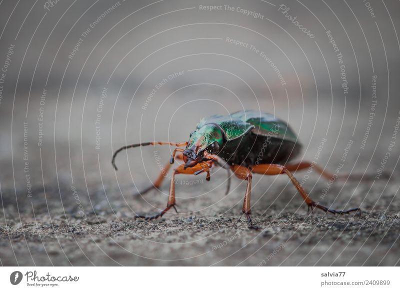 Laufkäfer Natur Tier Käfer Insekt 1 Stein Beton krabbeln sportlich braun grau grün Bewegung Geschwindigkeit Wege & Pfade gepanzert schillernd Fühler Farbfoto