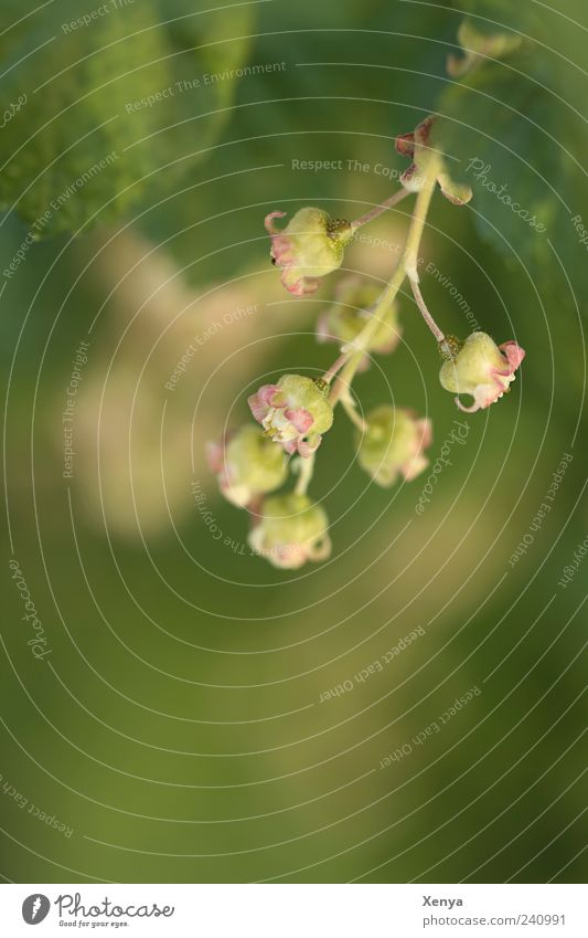 Beerenembryos Natur Pflanze Nutzpflanze Beerensträucher Blühend Wachstum gelb grün rosa Jostabeere Blüte Frühling Farbfoto Außenaufnahme Nahaufnahme