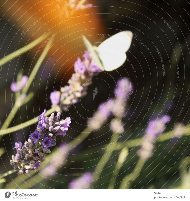 Sommervögel Lavendel Schmetterling ästhetisch Farbfoto Außenaufnahme Tag 1 Unschärfe weiß sitzen Bewegungsunschärfe Menschenleer