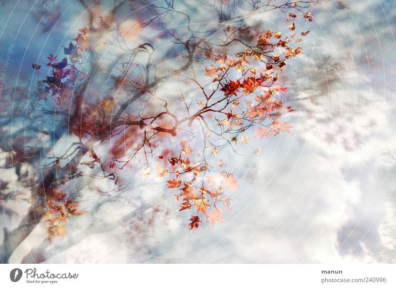 Nachbars Ahorn Natur Himmel Wolken Frühling Sommer Baum Blatt Japanischer Ahorn Zweige u. Äste außergewöhnlich fantastisch natürlich schön blau rot Farbfoto