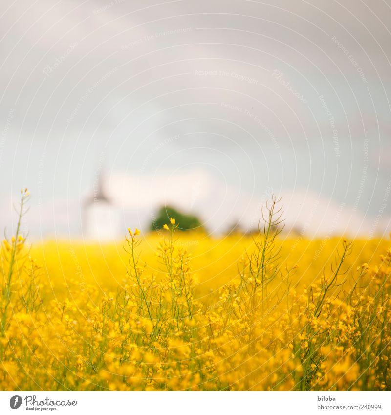 Landeskirche II Himmel Pflanze blau Sommer gelb Feld Kirche Turm Nutzpflanze Kirchturm Kirchturmspitze