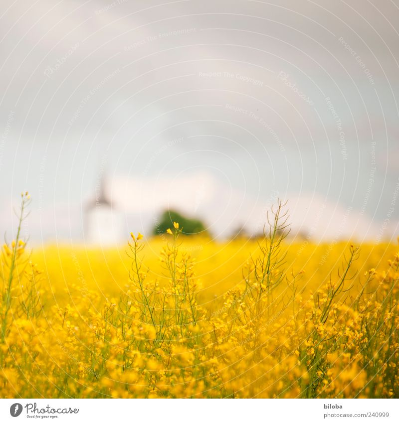 Landeskirche II Pflanze Himmel Sommer Nutzpflanze Feld Menschenleer Kirche Turm blau gelb Farbfoto Textfreiraum oben Unschärfe Kirchturmspitze