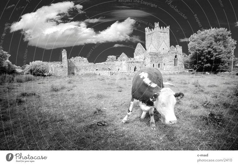 Kuh vor Abbey in Südirland Wolken Wiese Tier Stimmung Republik Irland Kloster Schwarzweißfoto