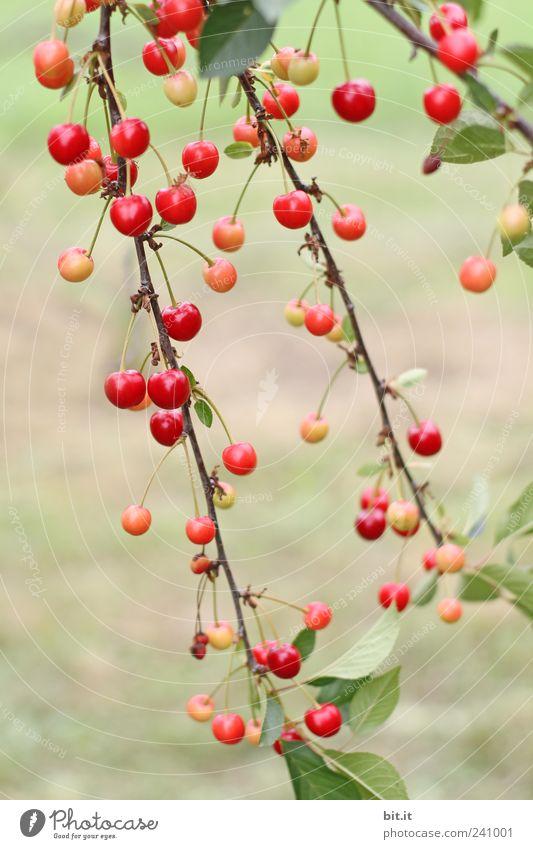 Kirschenzweige Umwelt Natur Pflanze Sommer Baum Nutzpflanze Zweige u. Äste hängen rot Kirschbaum Frucht Steinfrüchte Obstbaum Bioprodukte