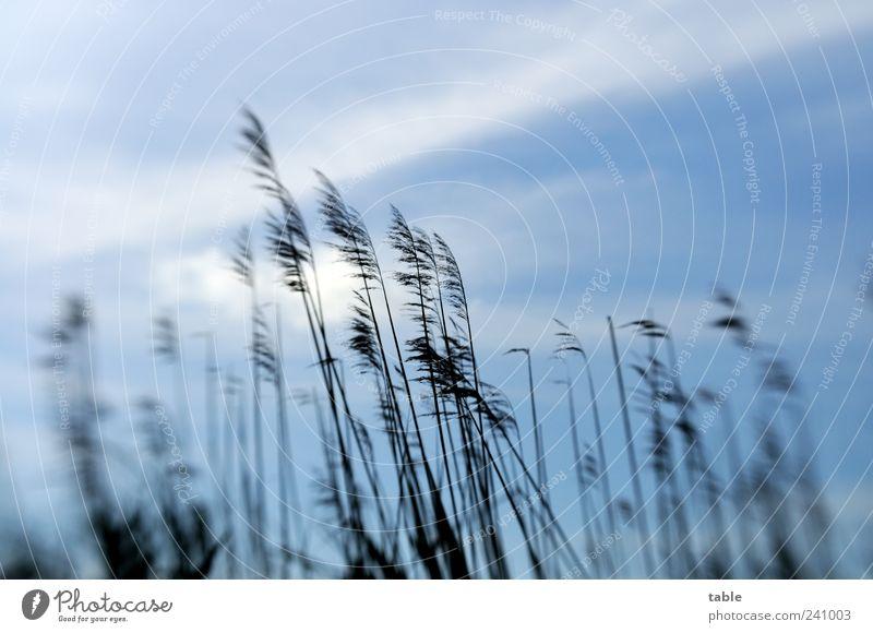 leichte Brise Himmel Natur blau Pflanze Sommer Wolken schwarz Umwelt Herbst Bewegung Luft Wetter Klima Schilfrohr Gras Morgendämmerung