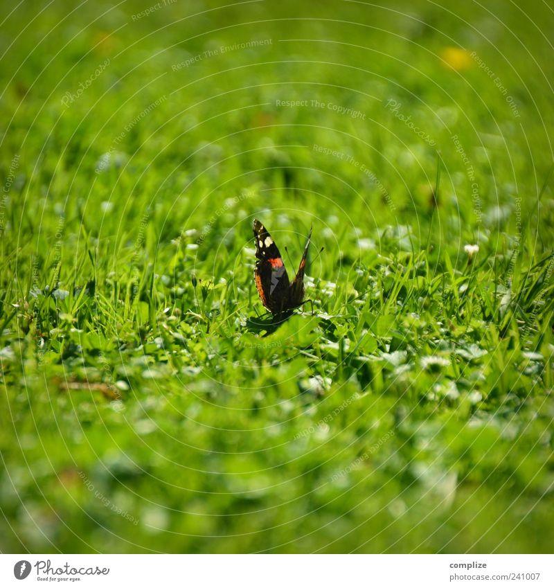 Schmetterling auf Wiese Umwelt Natur Pflanze Tier Frühling Sommer Gras 1 grün sitzen Farbfoto Außenaufnahme Textfreiraum oben Textfreiraum unten Tag