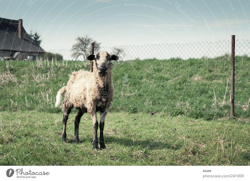 Cheese Tier Himmel Wolkenloser Himmel Horizont Wiese Nutztier 1 authentisch klein natürlich niedlich grün Neugier Schaf Weide Zaun Blick in die Kamera