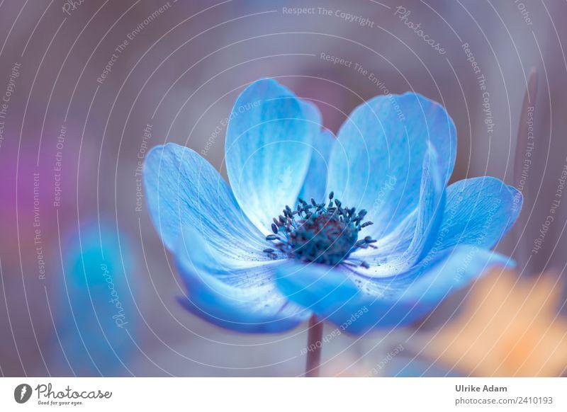 Anemone Natur Pflanze blau Blume Erholung Blüte Frühling Feste & Feiern Garten Zufriedenheit Dekoration & Verzierung Park elegant Blühend Ostern weich