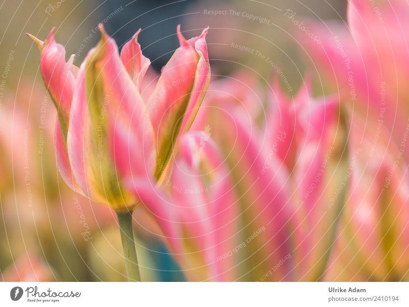 Rosa Tulpen Natur Pflanze Frühling Blume Blüte Garten Park Blühend leuchten Coolness verrückt rosa Frühlingsgefühle Romantik dankbar Idylle Inspiration Stimmung