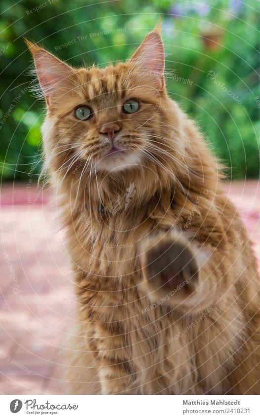 Marley Tier Haustier Katze Tiergesicht Fell Pfote 1 berühren Blick kuschlig natürlich weich braun Sympathie Tierliebe dankbar Neugier Interesse Appetit & Hunger