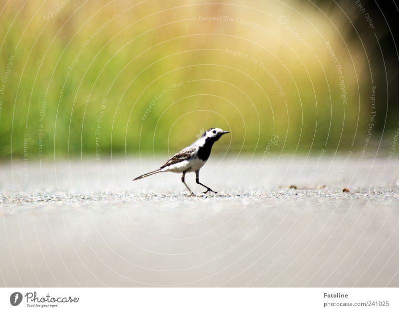 Danke für den Applaus Umwelt Natur Pflanze Tier Urelemente Erde Gras Wildtier Vogel 1 klein natürlich Bachstelze Feder gefiedert Farbfoto mehrfarbig