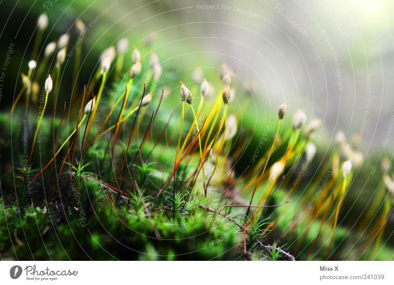 Moos grün Pflanze Sommer Umwelt nass Wachstum Moos Samen Wildpflanze Moosteppich