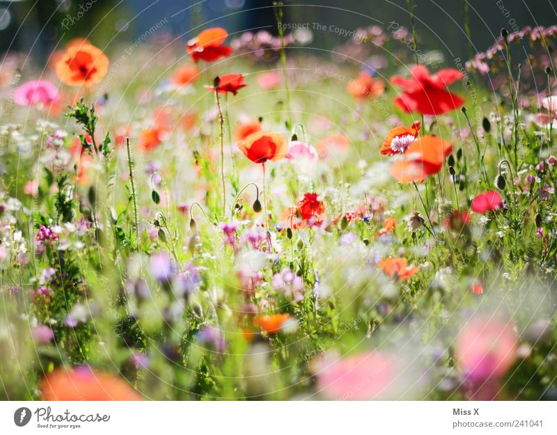 Bunte Wiese Blume Pflanze Sommer Blatt Blüte Gras Frühling Garten Wachstum Blühend Duft Mohn positiv Blumenwiese Mohnblüte