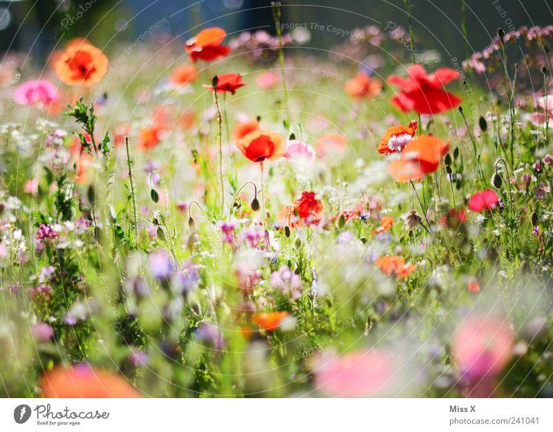 Bunte Wiese Pflanze Frühling Sommer Blume Gras Blatt Blüte Garten Blühend Duft Wachstum positiv mehrfarbig Mohnblüte Blumenwiese Sommerblumen Farbfoto