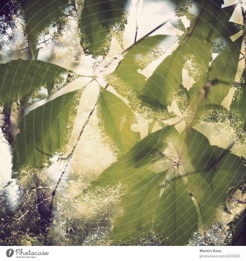 Sommerfest Natur Pflanze Schönes Wetter Baum Blatt frisch glänzend Wärme braun gelb grün Gefühle Stimmung Euphorie ästhetisch geheimnisvoll schön Wachstum