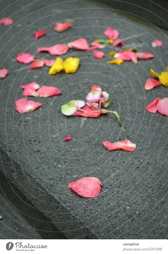 merry me* Feste & Feiern Blume Rose Blüte Treppe Stein gelb rosa Gefühle Glück Treue Romantik schön Rosenblätter Farbfoto Makroaufnahme Textfreiraum unten Tag