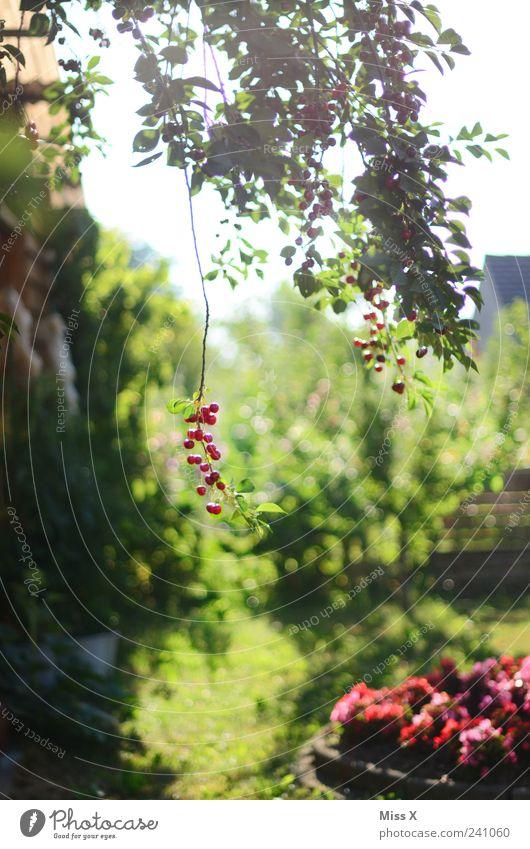 Wundervolles Idyll Lebensmittel Frucht Bioprodukte Sonnenlicht Sommer Schönes Wetter Pflanze Baum Blume Garten hängen klein lecker saftig sauer süß rot