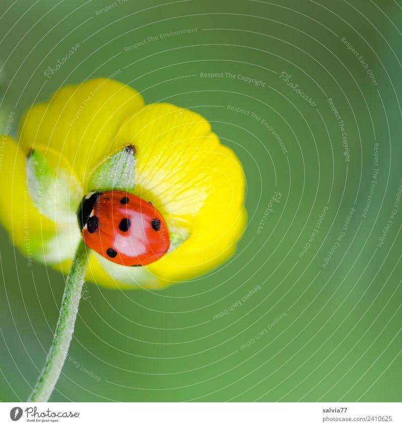 Glückskäfer Natur Pflanze Tier Frühling Sommer Blume Blüte Hahnenfußgewächse Wiese Käfer Siebenpunkt-Marienkäfer Insekt 1 krabbeln ästhetisch glänzend niedlich