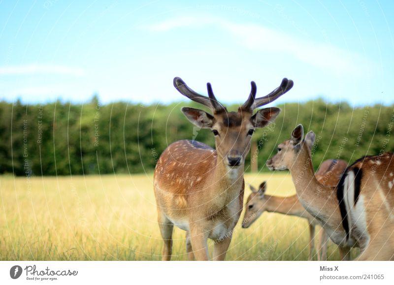 Rehlein Natur Tier Wiese Feld Wald Wildtier Tiergruppe Herde Schüchternheit Stolz Hirsche Wildnis Horn Neugier Farbfoto Außenaufnahme Textfreiraum oben
