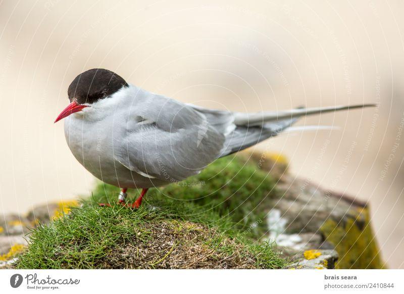 Küstenseeschwalbe Bildung Wissenschaften Biologie Biologe Ornithologie Umwelt Natur Tier Sehenswürdigkeit Wildtier Vogel 1 fliegen Tierliebe Umweltschutz
