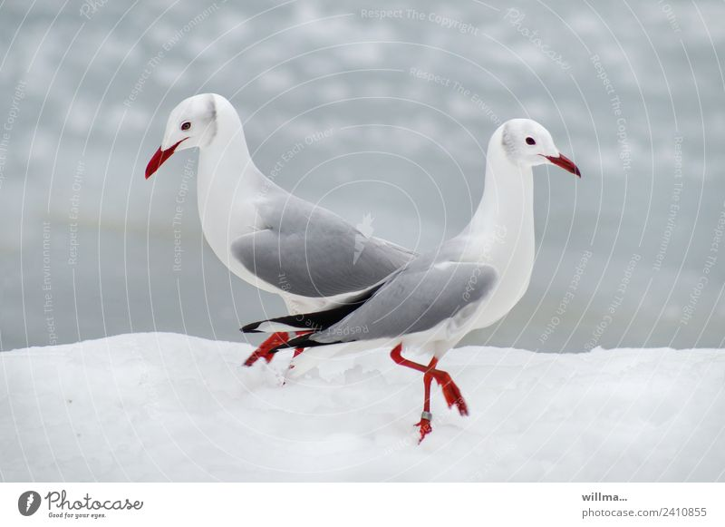 Möwen beim Pas de deux im Schnee Winter Graukopfmöwe 2 weiß Tierpaar paarweise Vögel