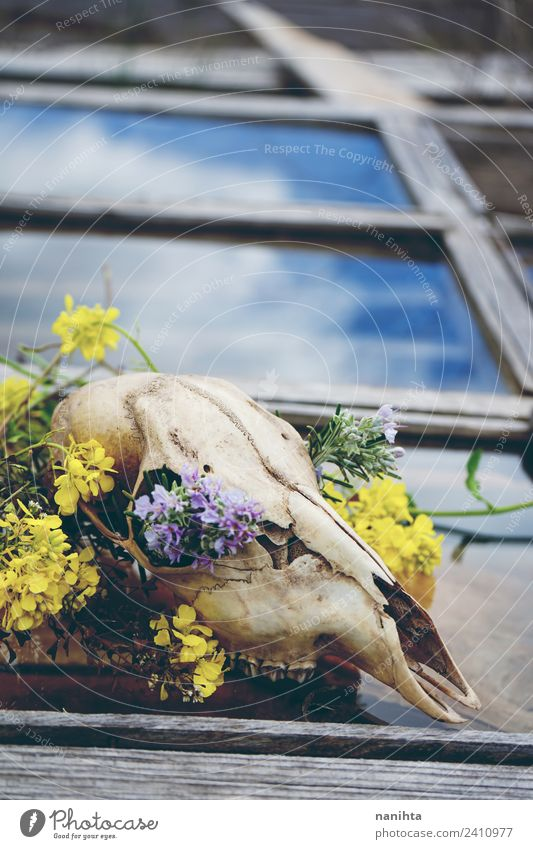 Tierschädel mit Blumenfüllung über einem alten Fenster Stil Design exotisch Halloween Natur Frühling Klimawandel Wildpflanze Wildtier Totes Tier Knochen 1 Holz
