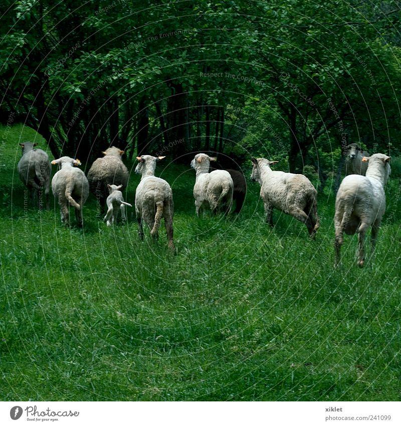 Natur weiß grün Baum Tier Gras springen Feld Angst laufen rennen Dorf Landwirtschaft Weide Schaf Säugetier