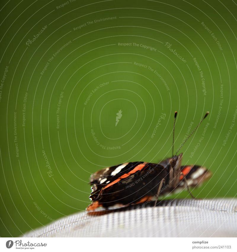Falter Natur grün Pflanze Sommer Tier ruhig Umwelt Glück Klima Schönes Wetter Vertrauen Schmetterling Hose Sonnenbad Fühler Akzeptanz