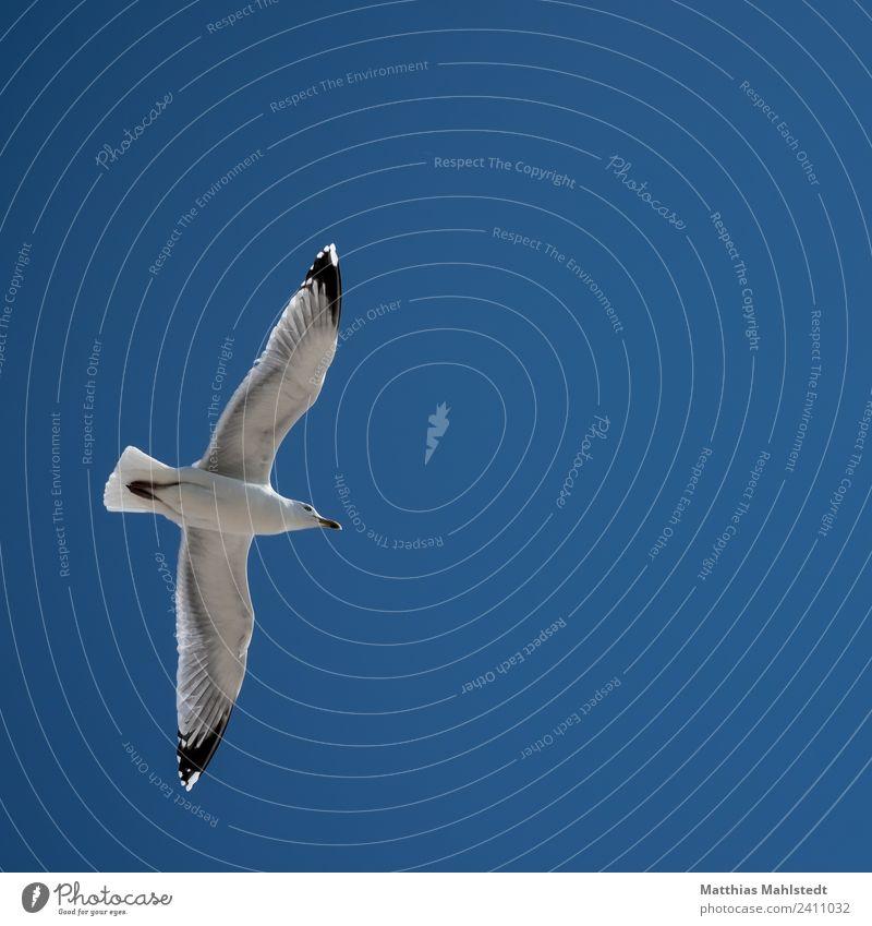 Die Möwe Himmel Wolkenloser Himmel Schönes Wetter Tier Wildtier Vogel Flügel 1 beobachten fliegen ästhetisch frei Unendlichkeit maritim oben blau weiß