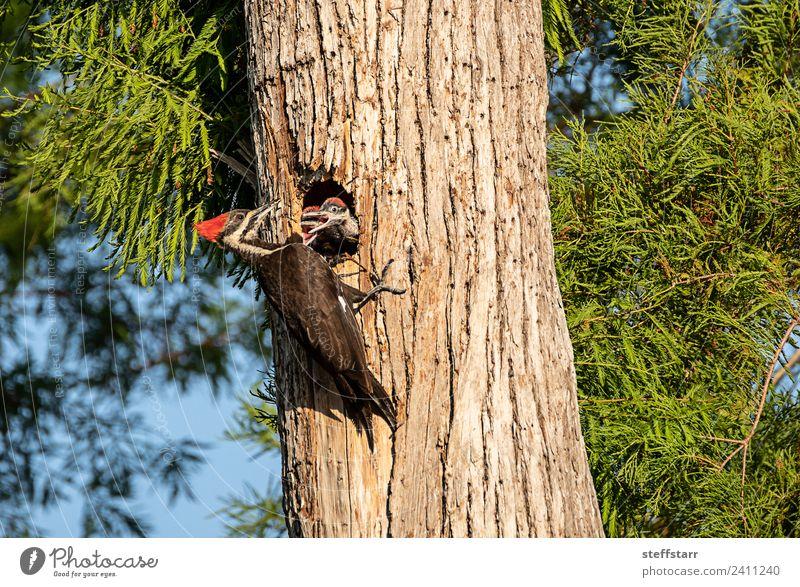 Gemahlener Specht Vogel Dryocopus pileatus Küken Baby Baum Tier Wildtier 3 Tierjunges Holz braun grün rot um Essen bitten Betteln Vogeljunge Nest Stapelspecht